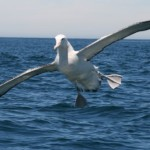 The wandering albatross is the posterchild of Lévy walk research and roams the skies in the way that Paul Lévy, after whom Lévy walks are named, would have appreciated.