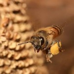 Honeybees use Lévy flights to locate new food sources.