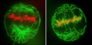 Two images of mitotic cells expressing CFP-histone and GFP-Sec61b to label ER. The cell on the right has been depleted of a putative NE membrane-MT linker protein (REEP3/4) and the membrane associates aberrantly with the chromatin. Image provided by Rebecca Heald.