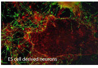 ES cell derived neurons