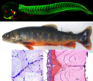 Image 1 – Nuclear Mef2 promotes myosin sarcomere formation  Image 2– (bottom 2 images) - Arctic charr muscle fibres