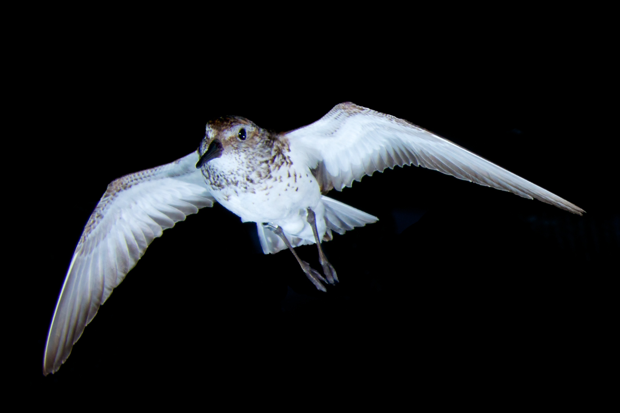 A western sandpiper flying in the AFAR wind tunnel. Photo credit: B. Fenton.