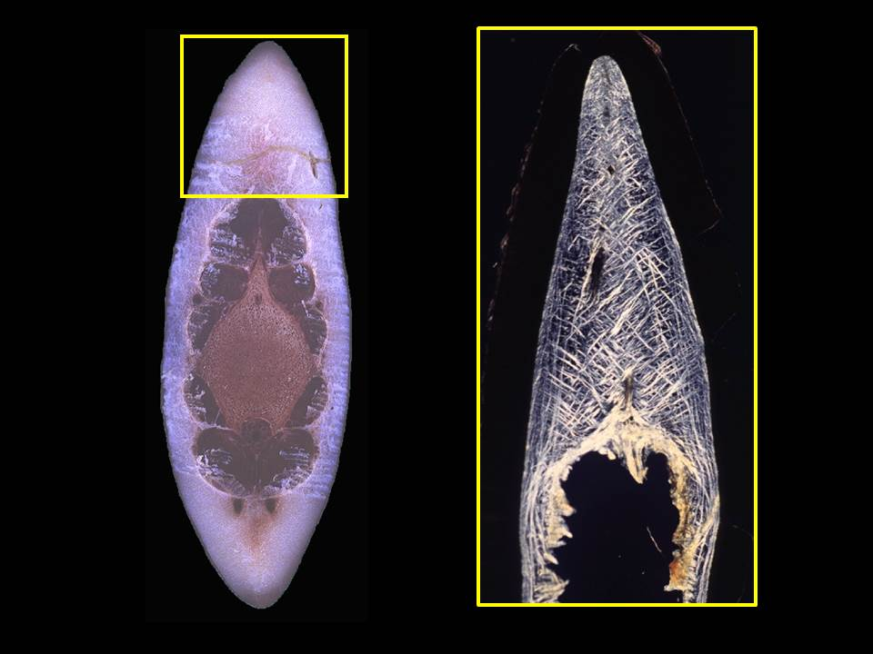 Caption: Cetacean blubber is a biocomposite formed by adipocytes and structural fibers. (A) Cross-section through the tailstock of a bottlenose dolphin (Tursiops truncatus) illustrating the hydrodynamic dorsal and ventral blubber keels. (B) Polarized light image of the dorsal keel of a harbor porpoise (Phocoena phocoena) illustrating the birefringent, collagenous structural fibers that reinforce this blubber. Photo credit: Pabst Research Lab.