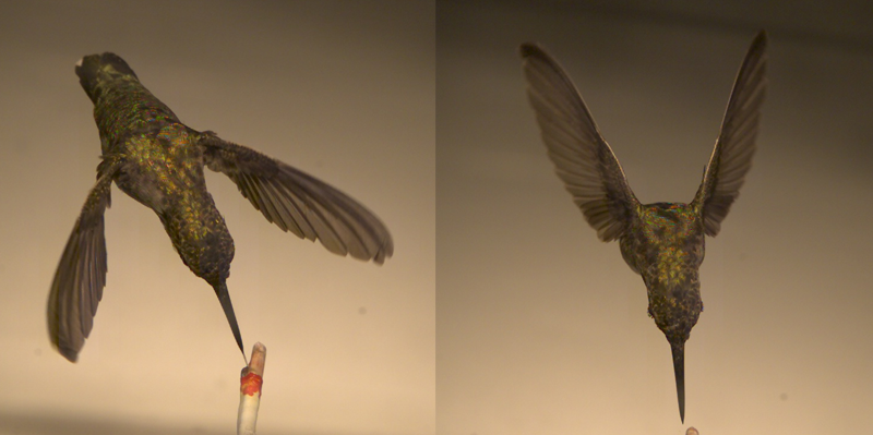 Hummingbird images captured during the experiment